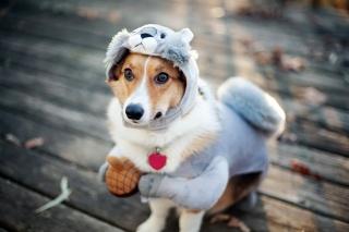 veverka, pes, kostým