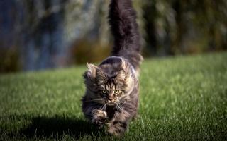 kočka, pozadí, pole
