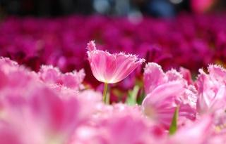 flowers, field, macro, petals, tulips, pink