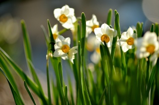 spring, Sunny, flowering, daffodils, leaves, flowers