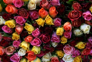 красивые, бутоны, розы, цветы, букет, цветок