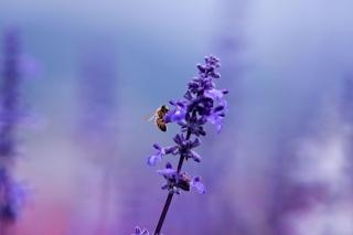 насекомое, растение, лаванда, пчела, сиреневый, цветок