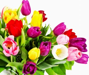 тюльпаны, белый, Красный, желтый