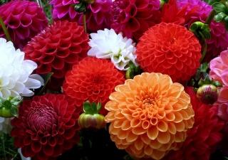 оранжевый, Георгины, разноцветие, Красный, белый, цветы