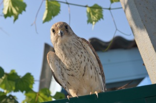 bird, nature, Predator