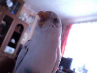 white, Parrot