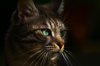 cat, grey, profile, eyes, green