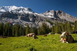 cows, Switzerland, Switzerland, meadow, mountains