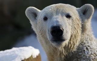 polar bear, view, polar bear