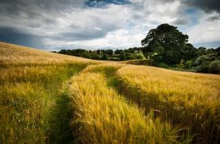 поле, природа, літо, хмари, пшениця, слід, небо