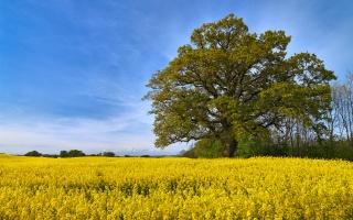 поле, небо, дерево, краса