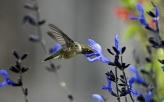 hummingbirds, flower, field, blue, bird, macro