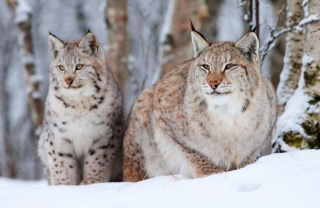 small, winter, old, two, lynx