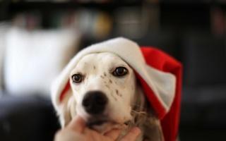 background, dog, holiday