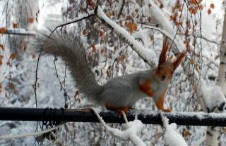 Squirrel, branches, winter