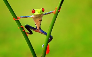 frog, branches, treefrog
