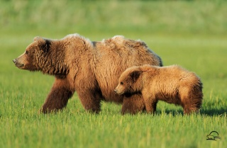 bears, Dipper, grass, the Bruins