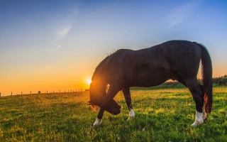 horse, meadow, glade, Green, grass, horizon, the sky, rays, light, dawn, sunset
