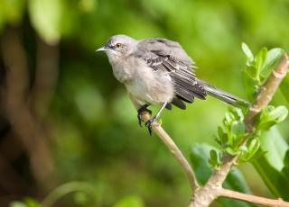 branch, bird, Mockingbird, macro, Mockingbird