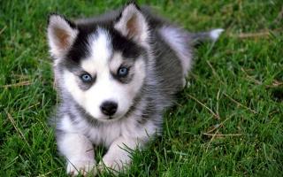 puppy husky, green grass, Wallpaper
