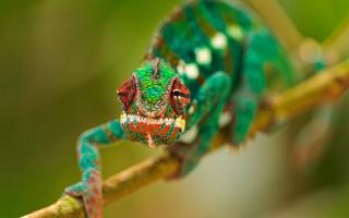 гілка, зелений, очі, хамелеон