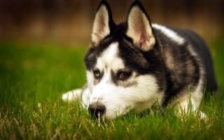 собака, хаскі, краса, один