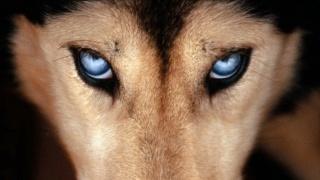 вовк, природа, тварини