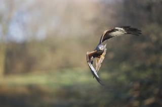 яструб, клюв, птиця, політ, крила, орел