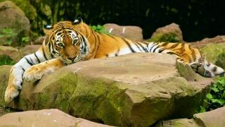 лежить, вусатий, тигр, каміння, погляд, смугастий