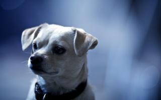 собака, погляд, один