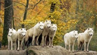 ліс, вовки, тварини