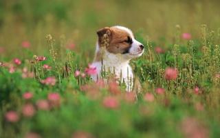 собака, квіти, щеня, трава, щенок, трава, собака, квіти, 1920х1200