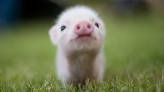 boar, grass, summer