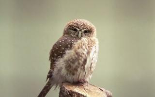 feathers, the beak, mug, owlet