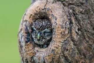 дерево, дупло, Сова, природа, спить