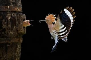 Соні світової фотографії нагород, пташеня, Удод, птиця, політ
