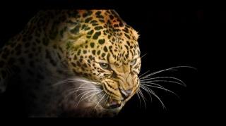 леопард, чорні, оскал