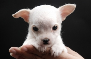 щенок, рука