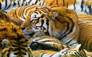 хижаки, 1920х1200, тигра, кішки, тигри, хижаки, кішки