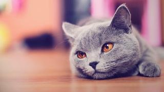 кіт, сірий, відпочинок