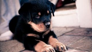 собака, Німецька вівчарка