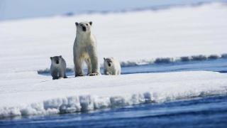 ice, bears, snow, white