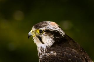 profile, background, hawk, view, green, glare, bird, hawk