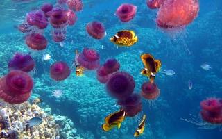 sea, the ocean, underwater world, fish, jellyfish, corals