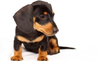 Dachshund, puppy, dog