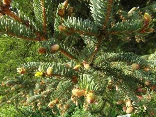 příroda, jehly, rány, vánoční strom