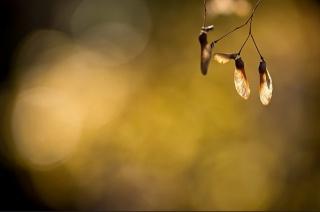 background, minimalism, beauty, seeds, Maple