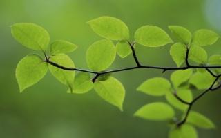 веточка, молодые листочки, весна