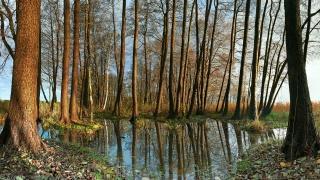 болотце, деревья, тонкие стволы