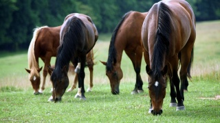 horses, grass, earth, field, forest